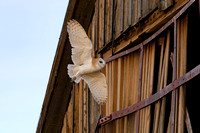 Barn Owl entering old barn