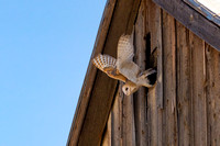 Barn Owl exiting old barn