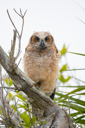 Great Horned Owl: Fledgling