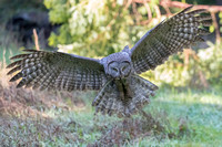 Great Grey Owl pouncing
