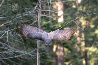Great Grey Owl take off